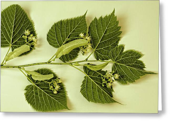 Basswood Leaves And Flowers Greeting Card by Sandra Foster