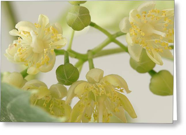 Basswood Tree Blossoms - Macro Greeting Card by Sandra Foster