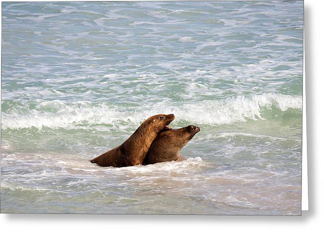 Sea Lions Greeting Cards - Battle for the Beach Greeting Card by Mike  Dawson