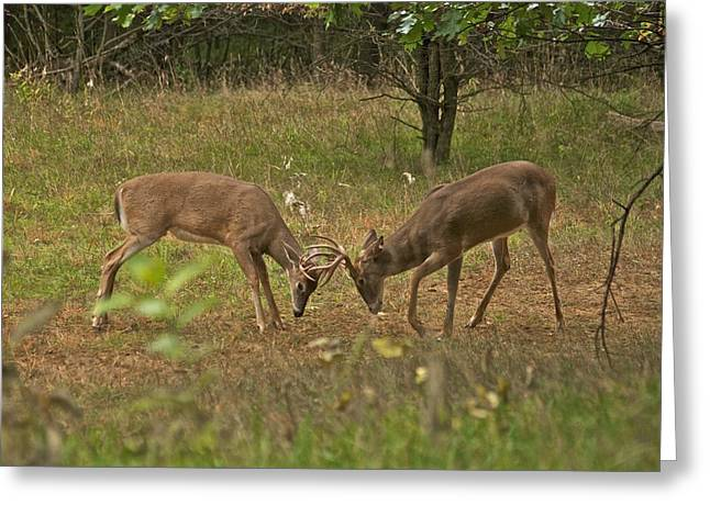 Peychich Greeting Cards - Battling Whitetails 0102 Greeting Card by Michael Peychich