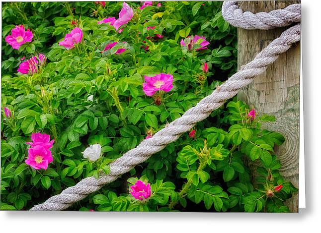 Beach Roses Greeting Cards - Beach Rose Greeting Card by Bill Wakeley