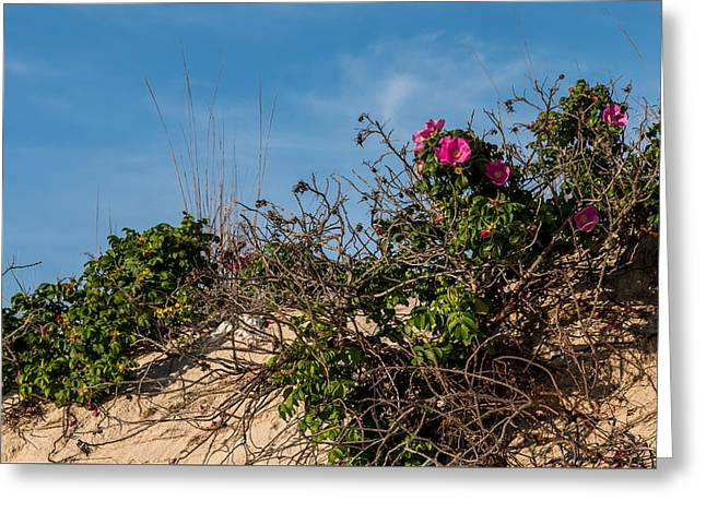 Sea Grasses On Sand Dunes Greeting Cards - Beach Roses on Dune Jersey Shore Greeting Card by Terry DeLuco