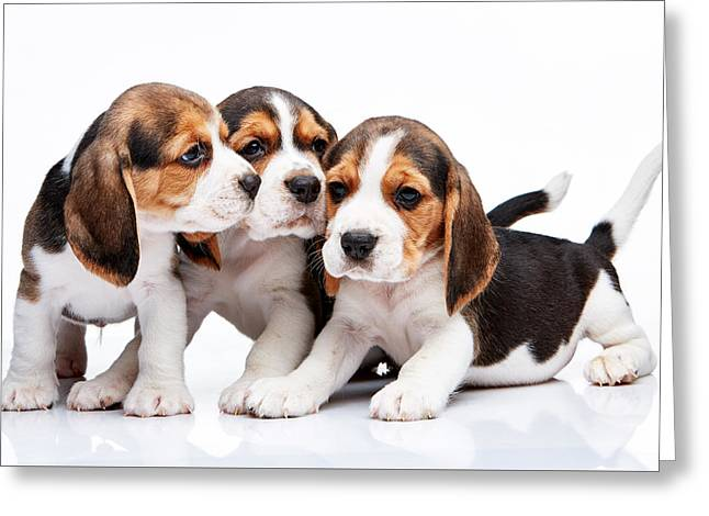 Cut-outs Greeting Cards - Beagle puppies on white background Greeting Card by Volodymyr Melnyk