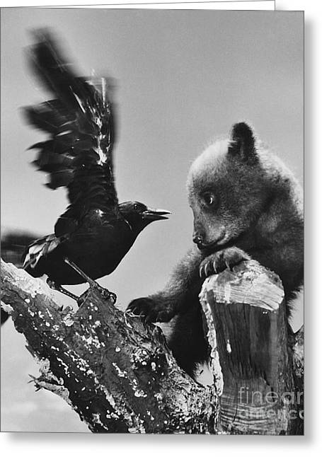 Two Crows Greeting Cards - Bear Cub And Black Crow Greeting Card by Ylla