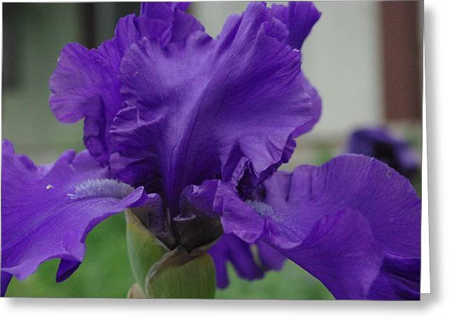 Paws4critters Photography Greeting Cards - Bearded Blue Iris Greeting Card by Robyn Stacey