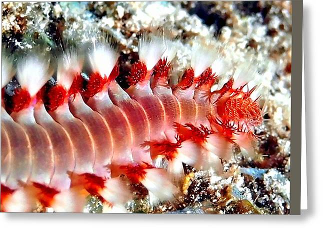 Snorkel Greeting Cards - Bearded Fire Worm Greeting Card by Amy McDaniel