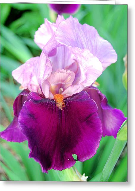 Muscatine Greeting Cards - Bearded Iris in Violet Greeting Card by Jame Hayes