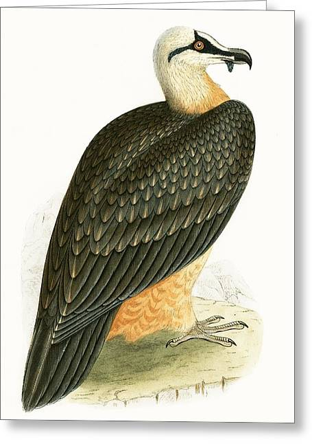 Bearded Vulture Greeting Card by English School