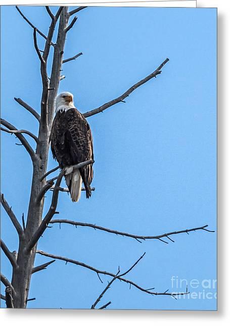 Haybales Greeting Cards - Beautiful Bald Eagle Greeting Card by Robert Bales