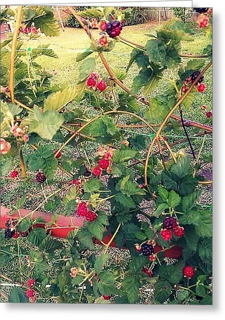 Raspberry Drawings Greeting Cards - Beautiful Berries  Greeting Card by Missy  Brage