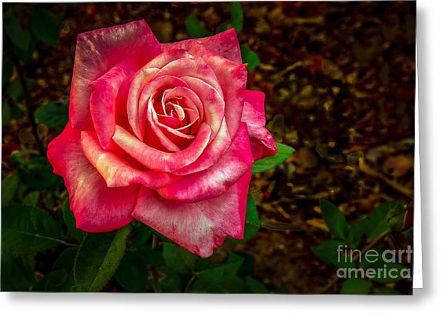 Beautiful Bicolor Rose Greeting Card by Robert Bales