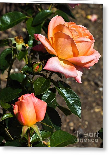 Apricot Greeting Cards - Beautiful bloom of the Rose Atlantic Star Greeting Card by Louise Heusinkveld