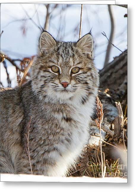Bobcats Greeting Cards - Beautiful Bobcat Greeting Card by Lloyd Alexander