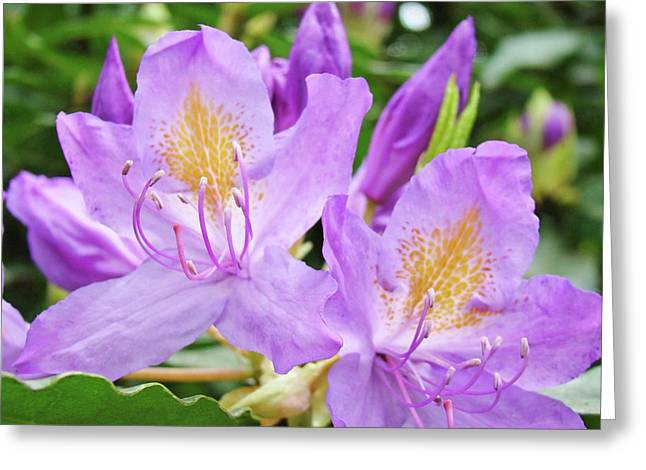Rhodie Greeting Cards - Beautiful Bright Purple Rhodies Lavender Rhododendrons Greeting Card by Baslee Troutman