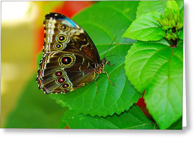 Living Things Greeting Cards - Beautiful butterfly Greeting Card by Jeff  Swan
