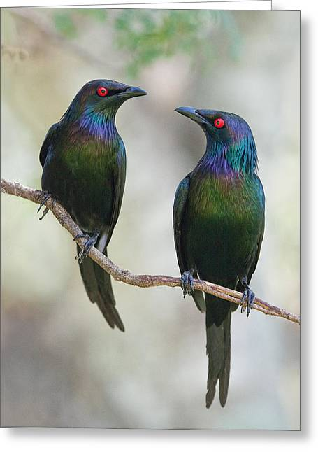 Starlings Greeting Cards - Beautiful Couple Greeting Card by Jacqueline Hammer