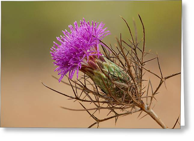 Distaff Greeting Cards - Beautiful Distaff-thistle Greeting Card by Yuri Peress