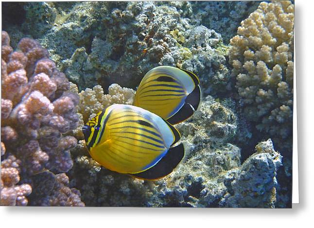 Decorative Fish Greeting Cards - Beautiful Exquisite Butterflyfish couple in the Red Sea 2 Greeting Card by Johanna Hurmerinta