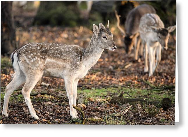 Beautiful Female Doe Fallow Deer Dama Dama Ina Forest Greeting Card by Matthew Gibson