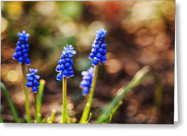 Grape Hyacinths Greeting Cards - Beautiful Grape Hyacinth Greeting Card by Vishwanath Bhat