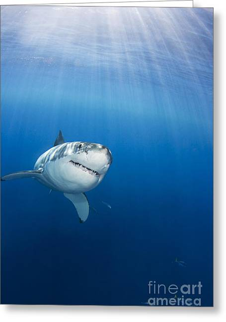 White Greeting Cards - Beautiful Great White Greeting Card by Dave Fleetham - Printscapes