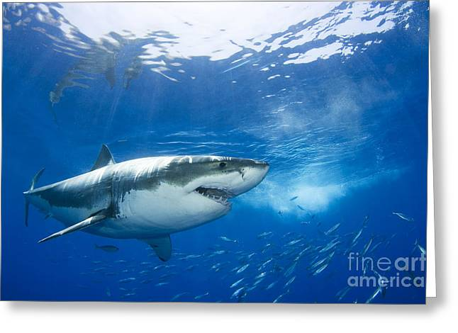 White Shark Greeting Cards - Beautiful Great White Shark Greeting Card by Dave Fleetham - Printscapes
