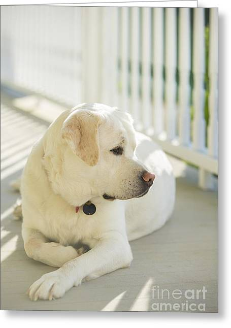 Labrador Retriever Photographs Greeting Cards - Beautiful Labrador Retriever  Greeting Card by Diane Diederich