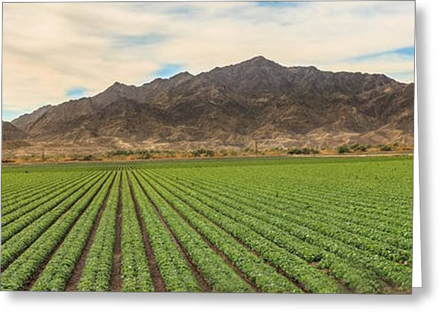 Beautiful Lettuce Field Greeting Card by Robert Bales