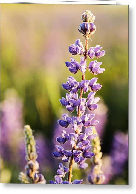 May Morning Greeting Cards - Beautiful lupine flower decorated with early morning dew drops Greeting Card by Vishwanath Bhat