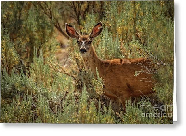 Beautiful Mule Doe Greeting Card by Robert Bales