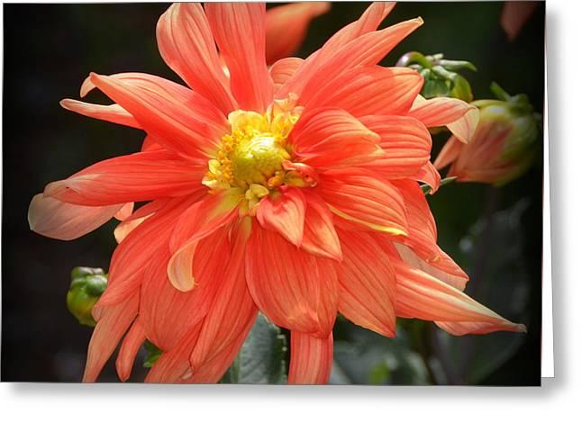 Beautiful Orange Dahlia Greeting Card by Carla Parris