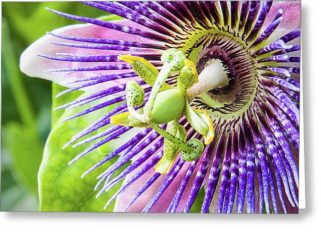 Beautiful Passion Greeting Card by Dawn Currie