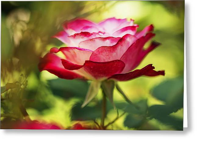 Square Format Greeting Cards - Beautiful Pink Rose blooming in garden Greeting Card by Vishwanath Bhat