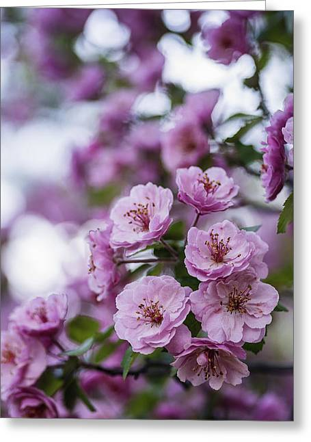 In Depth Greeting Cards - Beautiful pink spring flowers with natural bokeh Greeting Card by Vishwanath Bhat
