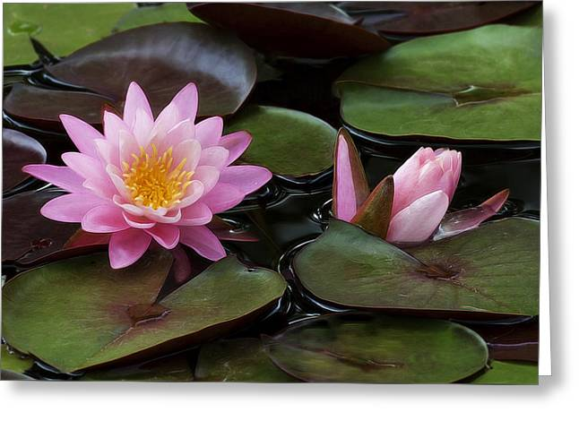 Water Lilly Greeting Cards - Beautiful Pink Water Lilies Greeting Card by Linda D Lester