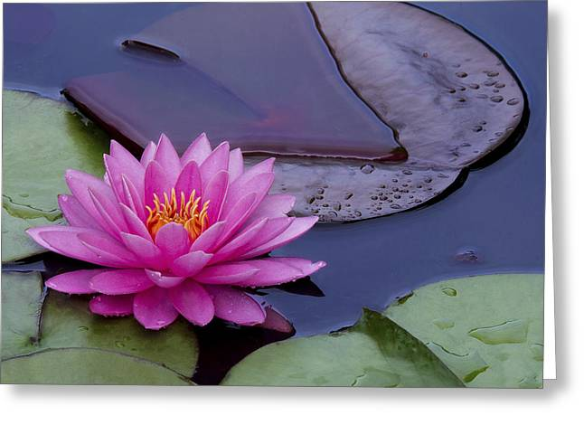 Water Lilly Greeting Cards - Beautiful Pink Water Lilly Greeting Card by Linda D Lester