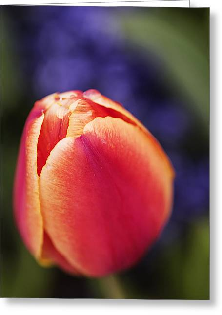 In Depth Greeting Cards - Beautiful red and orange colored tulip  Greeting Card by Vishwanath Bhat