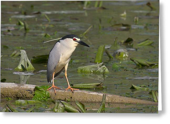 Aquatic Tapestries - Textiles Greeting Cards - Beautiful specimen of Night Heron Greeting Card by Marco Amenta