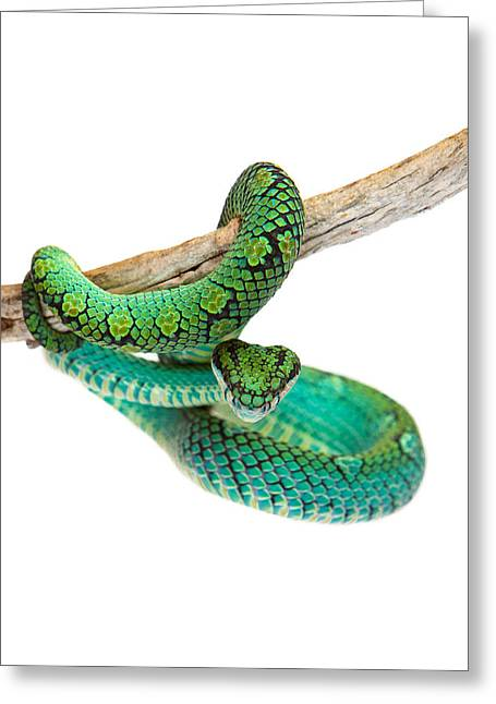 Sri Lanka Greeting Cards - Beautiful Sri Lankan Palm Viper Greeting Card by Susan  Schmitz