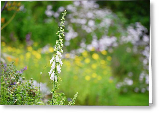 Beautiful Summer Garden Landscape With Beautiful Foxgloves In Fo Greeting Card by Matthew Gibson