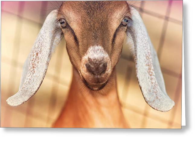 Goat Photographs Greeting Cards - Beautiful Taffy Greeting Card by TC Morgan