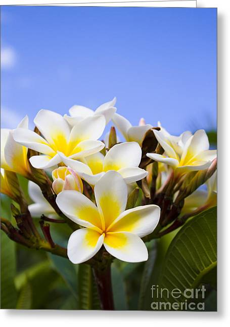 Yellow Flower Scent Greeting Cards - Beautiful white frangipani flowers Greeting Card by Ryan Jorgensen