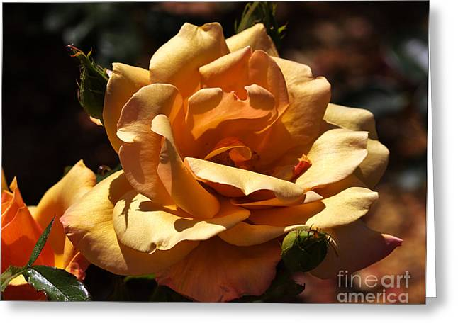 Apricot Greeting Cards - Beautiful Yellow Rose Belle Epoque Greeting Card by Louise Heusinkveld