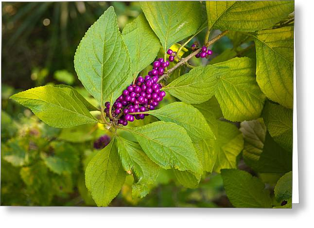 Oscar Scherer State Park Greeting Cards - Beauty berries Greeting Card by John Myers