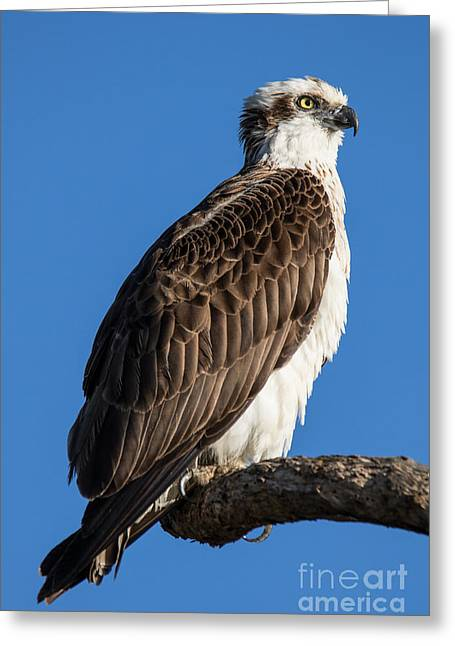 Kite Greeting Cards - Beauty In Nature Greeting Card by Jay Wolf