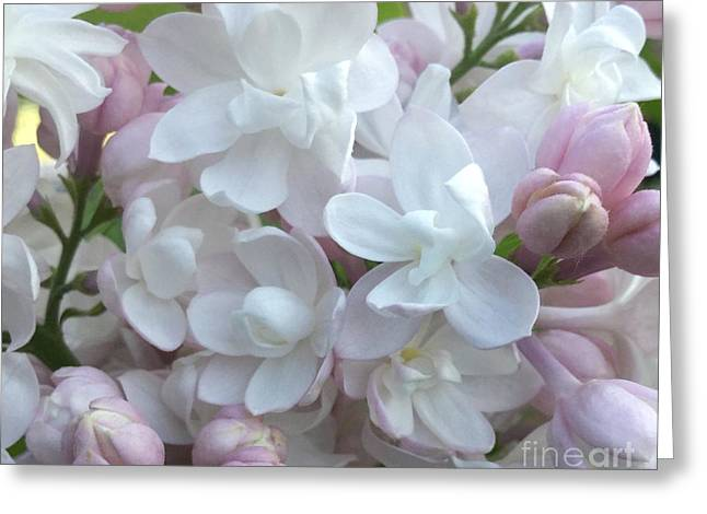 Maine Spring Greeting Cards - Beauty Of Moscow Lilac Maine Spring 2015 Greeting Card by Patricia Sundik