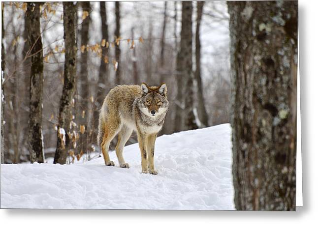 Brush Wolf Greeting Cards - Beauty of the Woods Greeting Card by Joshua McCullough