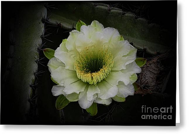 White Cactus Flower Greeting Cards - Beauty Within Greeting Card by Saija  Lehtonen