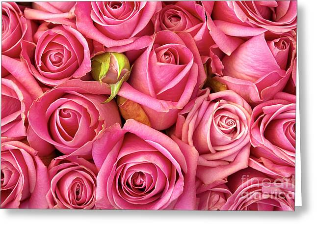 Pink Roses Greeting Cards - Bed Of Roses Greeting Card by Carlos Caetano
