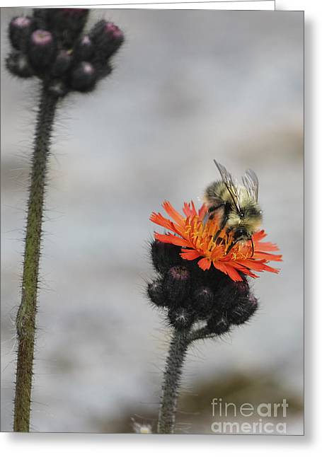 Bee And Hawkweed 2 Greeting Card by Carolyn Brown